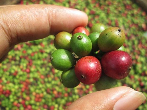 coffee-bean-507411_1280